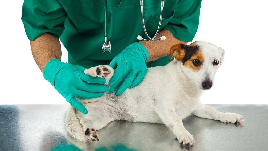 Les tiques : un danger pour votre chien